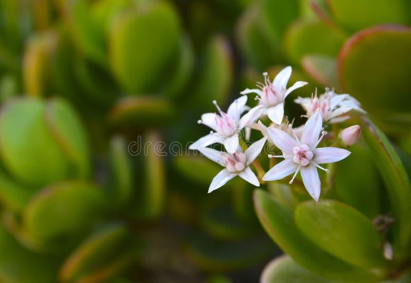 开花的景天树ovata多汁玉植物、友谊树、幸运的植物或者金钱树 免版税库存照片