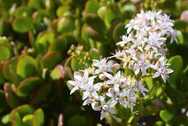 开花的景天树ovata多汁玉植物、友谊树、幸运的植物或者金钱树 库存照片