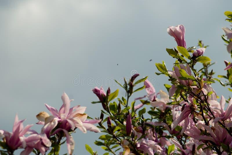 开花的木兰在春天 免版税图库摄影