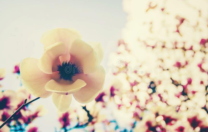 开花的木兰在植物园里 库存照片