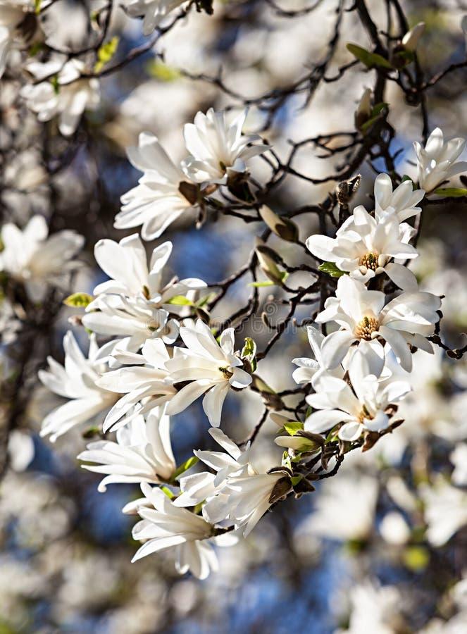 开花的木兰树 免版税库存照片