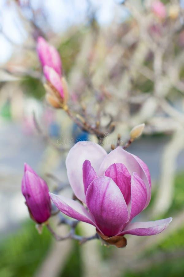 开花的木兰特写镜头  库存图片