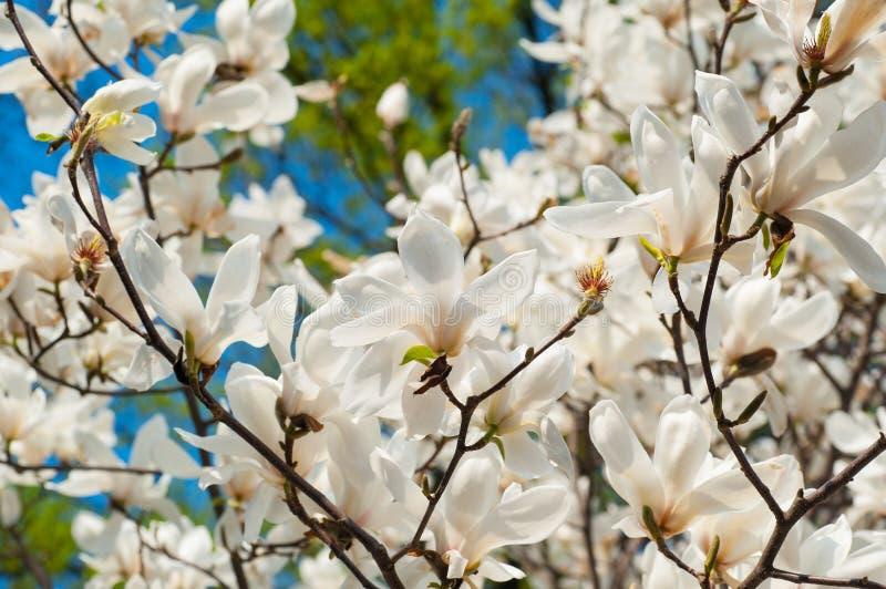 开花的木兰的图象在春天开花 图库摄影