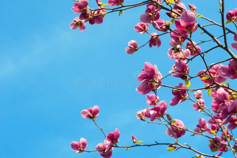 开花的木兰的图象在春天开花 库存照片