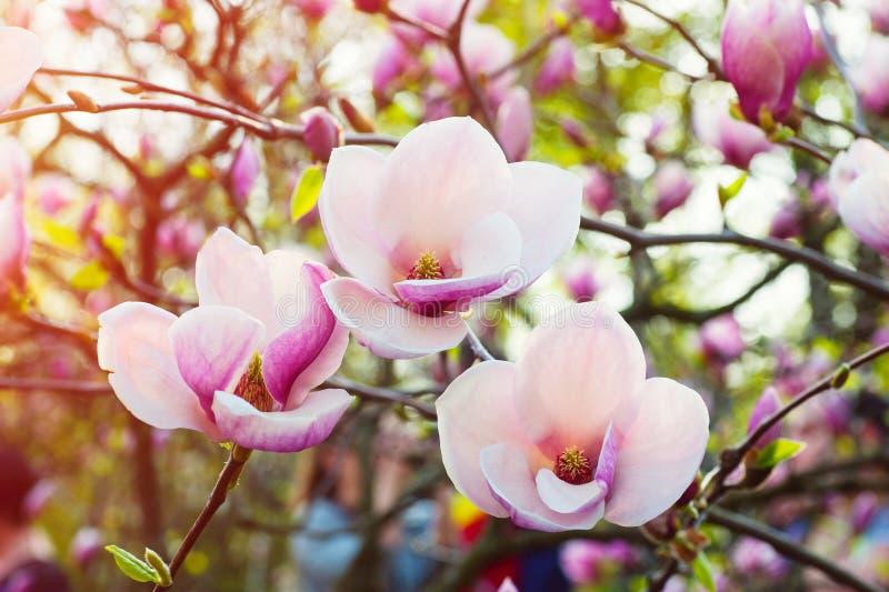 开花的木兰的图象在春天开花 库存图片