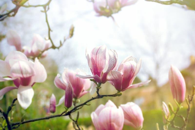 开花的木兰花,美丽的开花的木兰 免版税库存照片