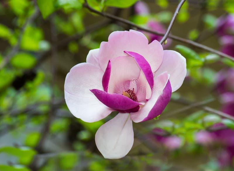 开花的木兰结构树 免版税图库摄影