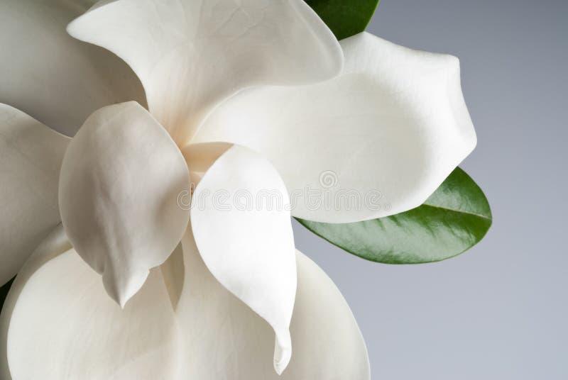 开花的木兰 免版税库存图片