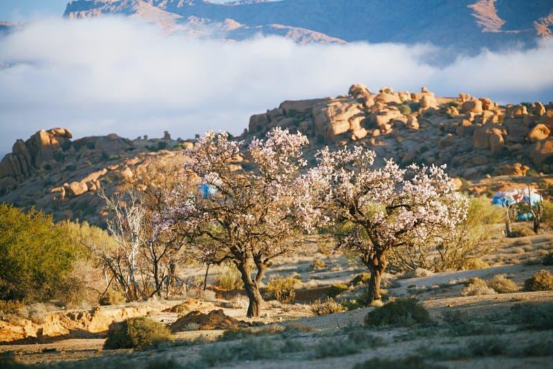 开花的杏仁在Tafraout,摩洛哥 免版税库存照片