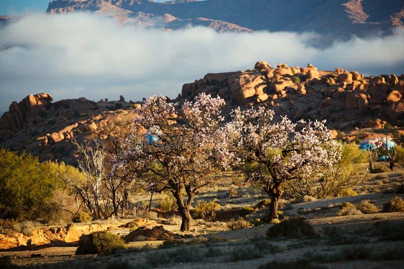 开花的杏仁在Tafraout,摩洛哥 免版税图库摄影