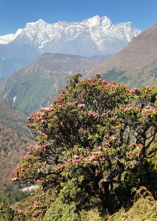 开花的杜鹃花树和登上Kongde 免版税库存图片