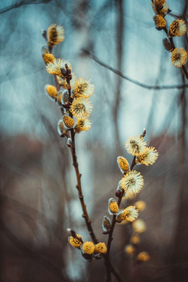 开花的柔荑花或芽,褪色柳,灰色杨柳,燕麦杨柳在蓝色棕色天空背景的早期的春天 杨柳枝杈 免版税库存图片
