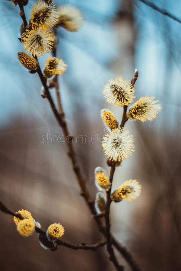 开花的柔荑花或芽,褪色柳,灰色杨柳,黄花柳在蓝色棕色天空背景的早期的春天 杨柳枝杈 免版税库存照片