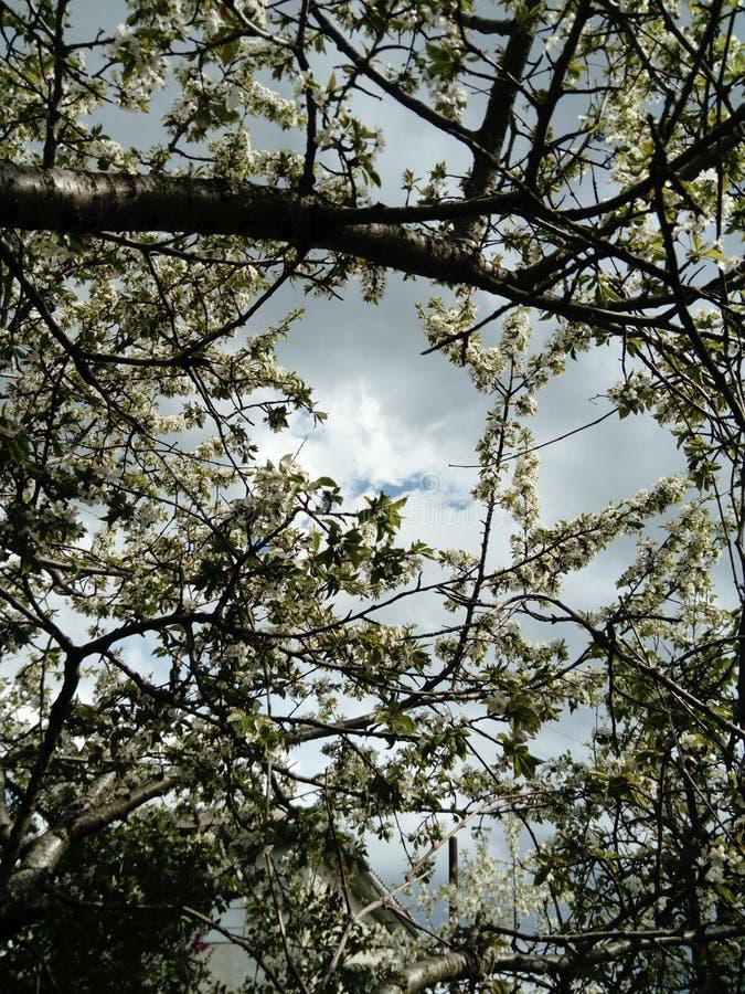 开花的树分支和天蓝色 库存照片