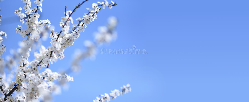 开花的树分支在天空蔚蓝背景的 库存图片