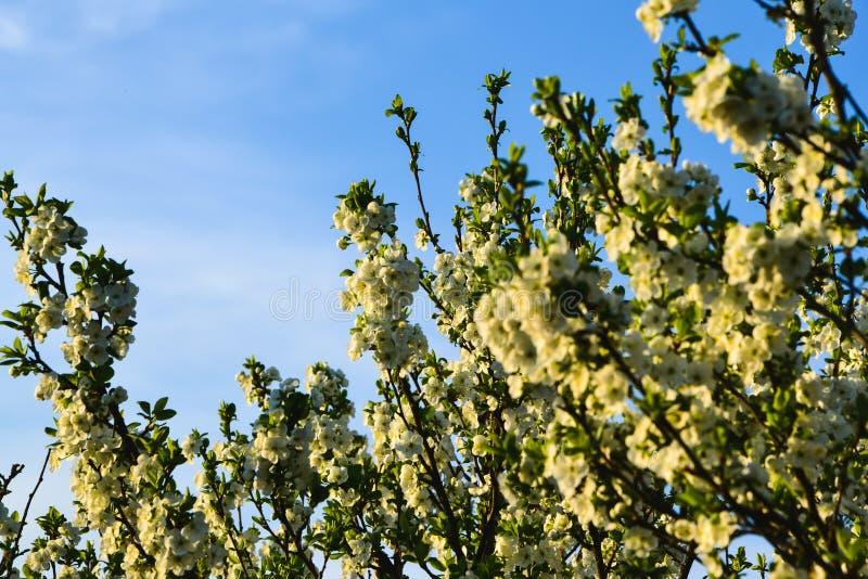 开花的树在一个晴天分支反对清楚的天空背景 迟来的 库存图片