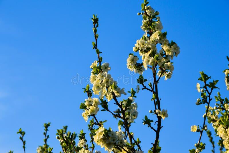 开花的树在一个晴天分支反对清楚的天空背景 库存图片