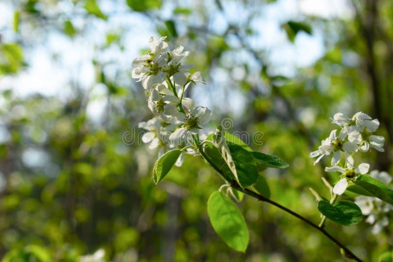 开花的树枝特写镜头有被弄脏的背景 免版税图库摄影