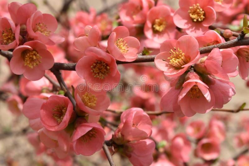 开花的树枝 免版税库存图片