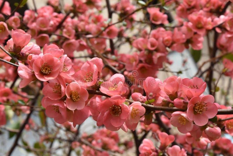 开花的树枝 图库摄影