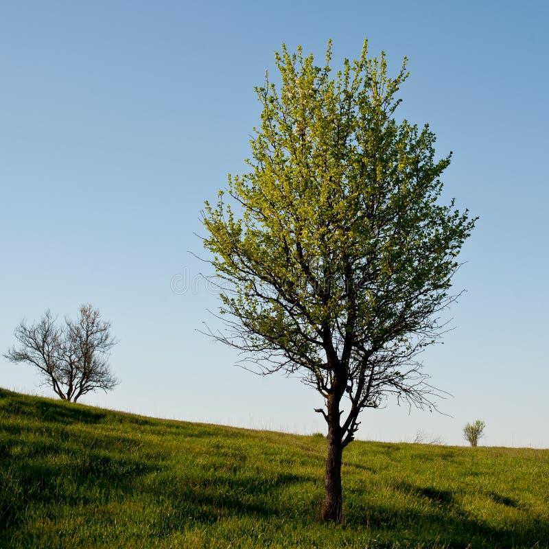 开花的树狂放的梨 库存图片