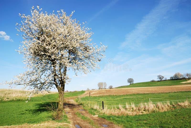 开花的树 图库摄影
