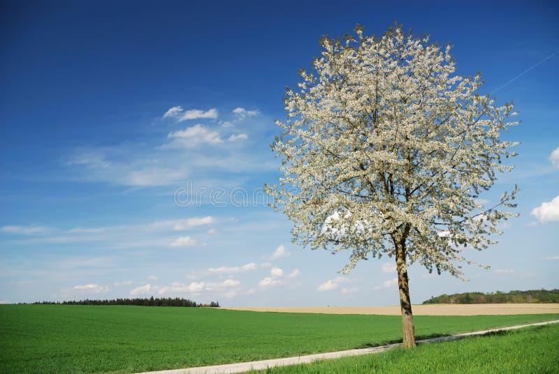 开花的树 免版税库存照片