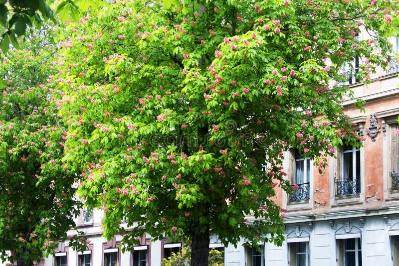 开花的栗子,法国,科尔马 免版税图库摄影