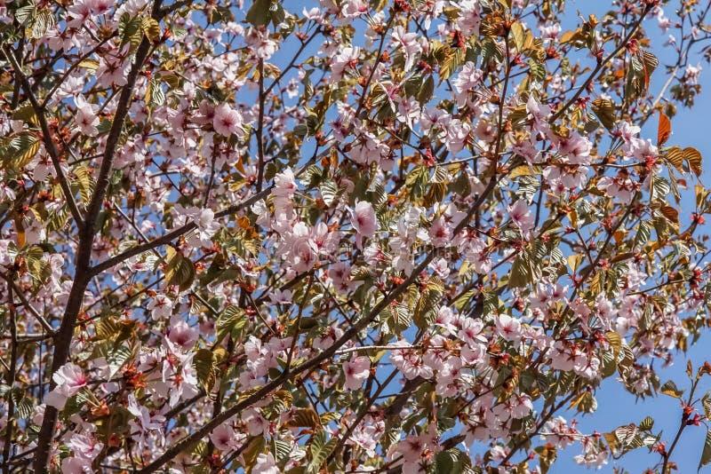 开花的桃红色佐仓树冠在春天 r 免版税图库摄影