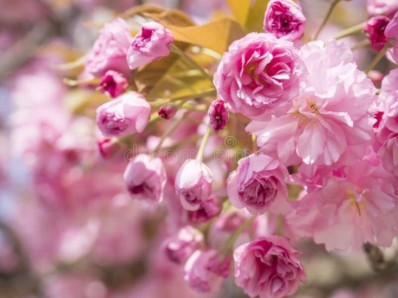开花的桃红色佐仓樱花或日本樱桃芽花李属serrulata分支,软的焦点的关闭,自然 免版税图库摄影