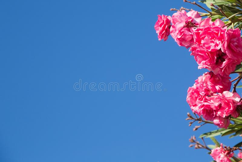 开花的桃红色夹竹桃花或夹竹桃在庭院里,背景蓝色明亮的天空的 插入文本的框架和背景和 库存照片