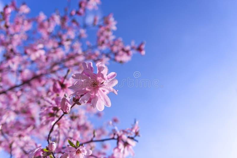 开花的桃红色木兰树选择聚焦 免版税库存图片