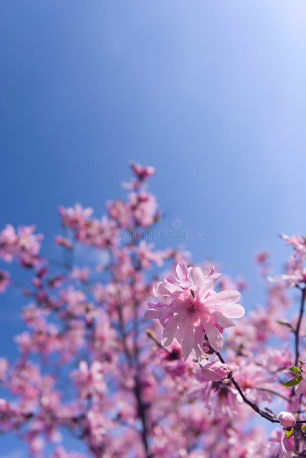 开花的桃红色木兰树选择聚焦 库存照片