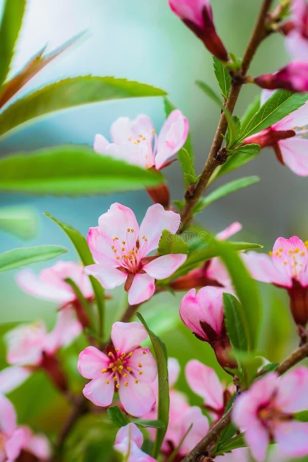 开花的桃红色杏仁 免版税图库摄影