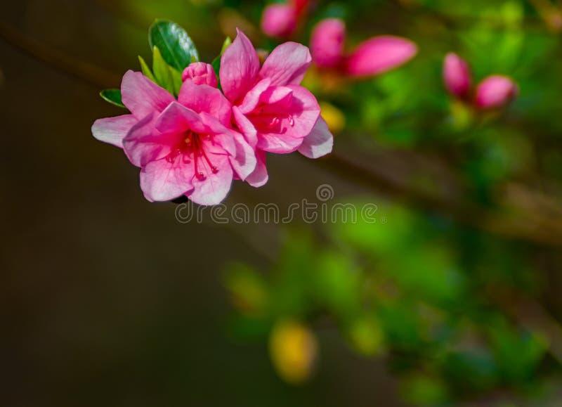 开花的桃红色杜娟花在山公园- 3 库存照片