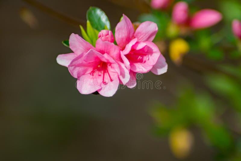 开花的桃红色杜娟花在山公园- 4 免版税图库摄影