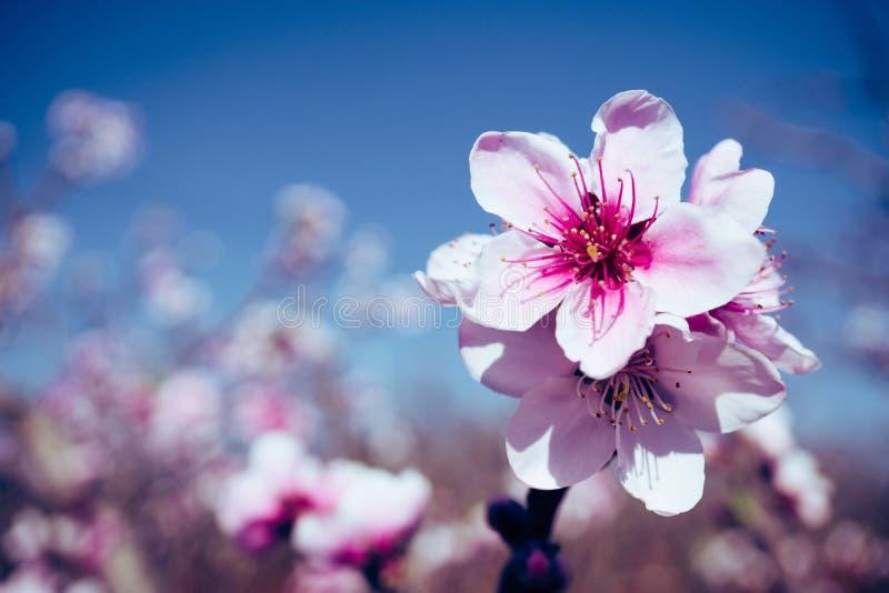 开花的桃红色桃花有迷离背景 免版税图库摄影