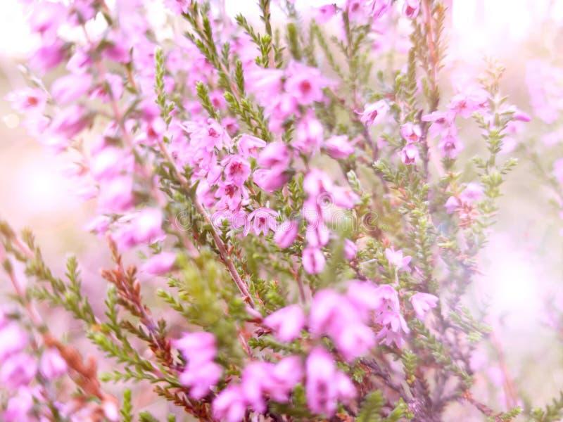 开花的桃红色海瑟 明亮的晴朗的快乐的春天框架 拉丁文本质上 特写镜头射击 选择聚焦,被弄脏 库存图片
