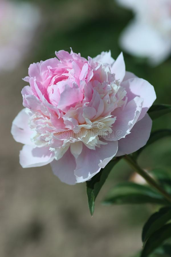 开花的桃红色牡丹天使面颊 库存照片
