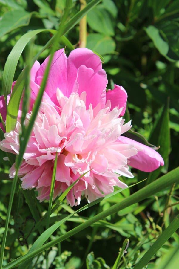 开花的桃红色牡丹 背景美丽的刀片花园 夏天开花 在庭院里 自然 免版税图库摄影