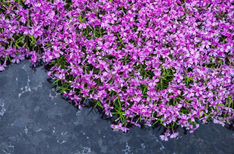 开花的桃红色福禄考(福禄考subulata)在池塘附近 免版税库存图片