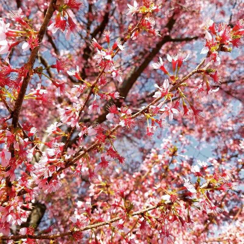 开花的桃红色结构树 免版税库存图片