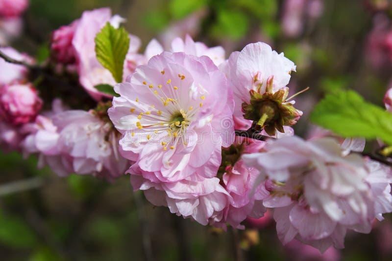 开花的桃红色花分支在绿色背景的在阳光下 免版税库存照片