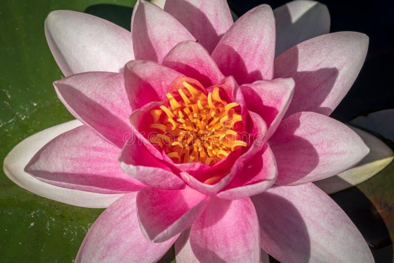 开花的桃红色荷花在一个晴天在夏天 库存照片