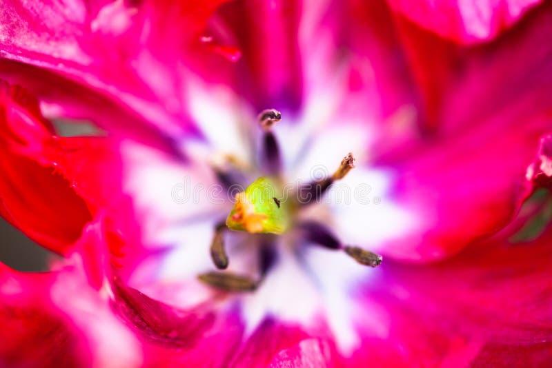 开花的桃红色郁金香花的特写镜头 免版税图库摄影