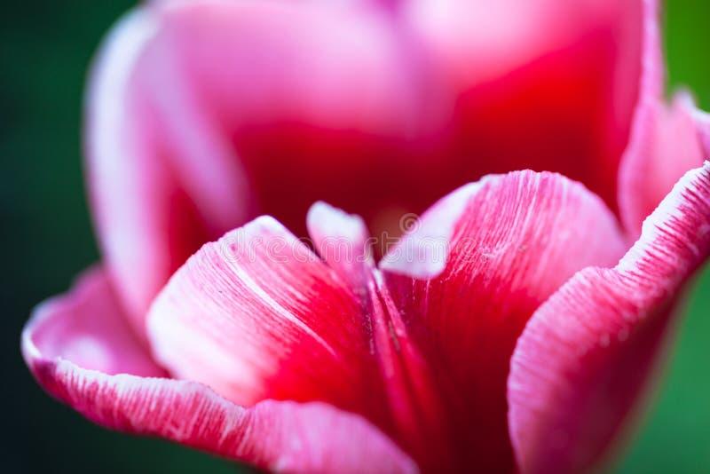 开花的桃红色郁金香花的特写镜头 免版税库存照片