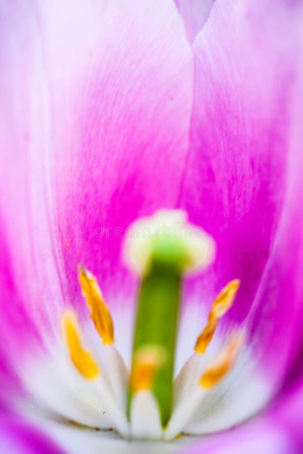 开花的桃红色郁金香花的特写镜头 库存照片