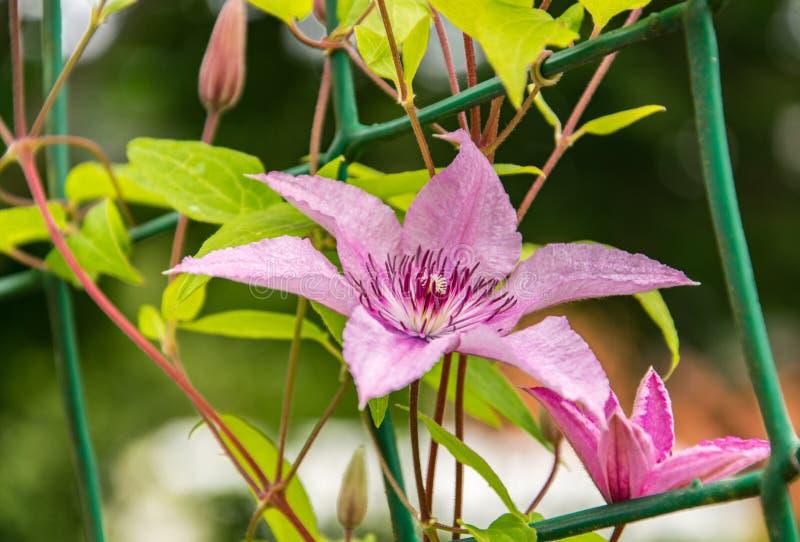 开花的桃红色铁线莲属特写镜头在庭院里 免版税库存照片