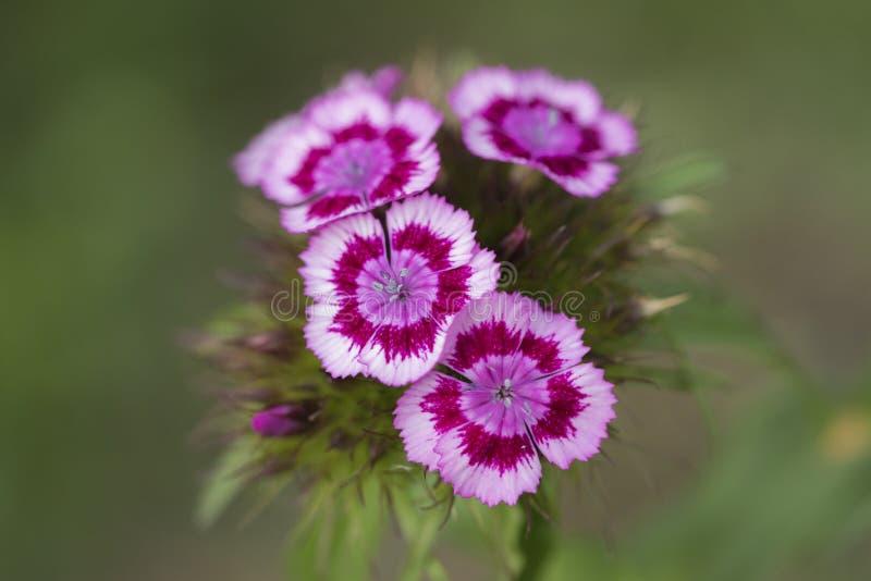 开花的桃红色 免版税库存图片