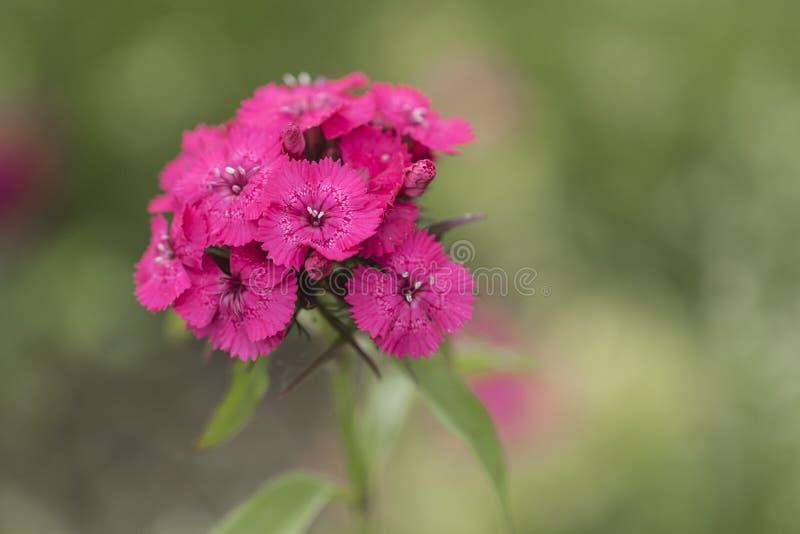 开花的桃红色 库存照片